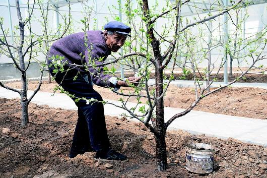 平凉崇信县锦屏镇村民为樱桃树浇灌营养液(图)