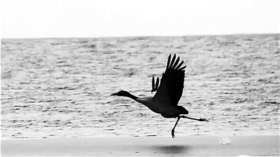 黑颈鹤在张掖山丹马场西大河水库边嬉戏(图)