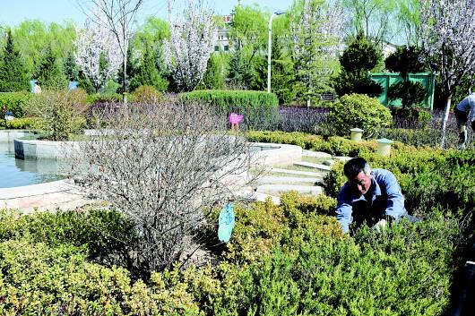 平凉一园林工人修整校园内的花卉树木(图)
