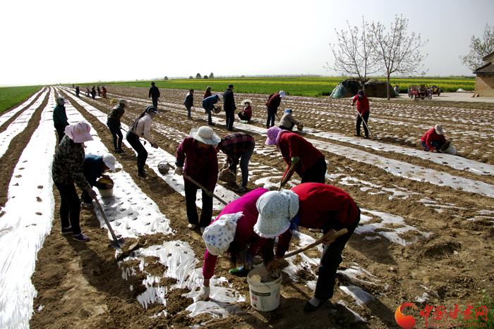 庆阳宁县:中药材种植撑起农民增收一片天(图)