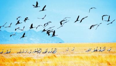 酒泉阿克塞哈萨克族自治县境内苏干湖草原湿地出现大规模灰鹤群