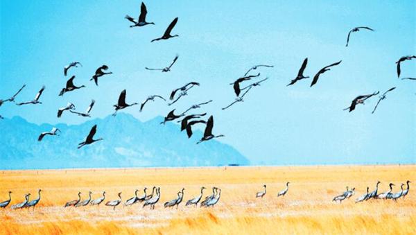 酒泉阿克塞县境内苏干湖草原湿地出现大规模灰鹤群/图