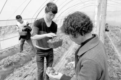 陇南西和县西峪镇草莓采摘园开启休闲农业致富新模式:草莓火了 农家富了(图)