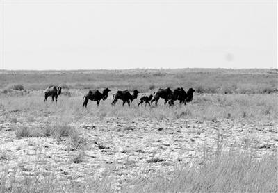 """甘肃敦煌西湖保护区普氏野马、野骆驼又""""添丁""""(图)"""