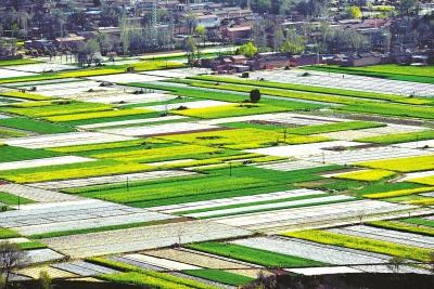渭河两岸油菜花绽放风景如画