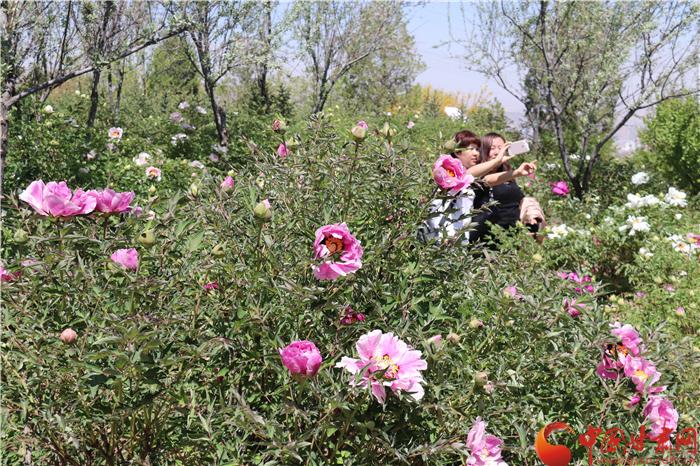 兰州和平镇13万株牡丹进入盛放期 本周末邀你来赏花 (组图)