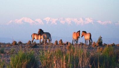 敦煌西湖保护区普氏野马、野骆驼各添两幼仔