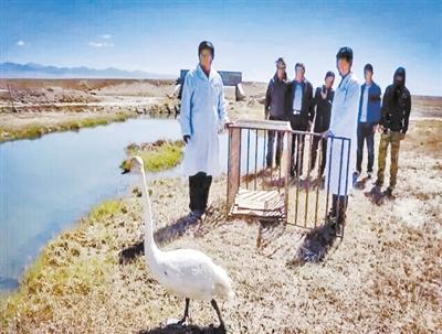 体力不支落单 白天鹅获救治被放归大自然