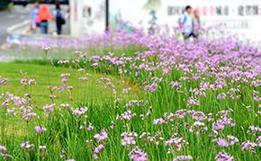 杭州:城站开满紫娇花