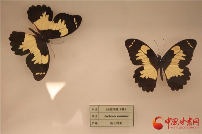相约甘肃省博物馆 小陇带你看蝴蝶界的颜值担当(组图)