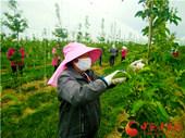 庆阳宁县27万亩苹果疏花正当时(图)
