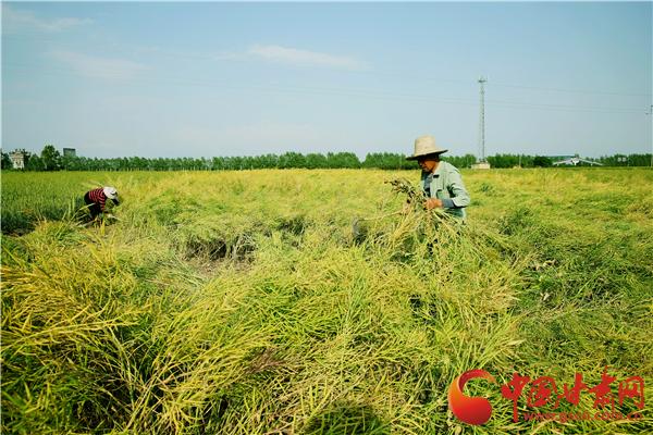 庆阳市宁县:15.11万亩油菜开镰收割 喜获丰收(图)