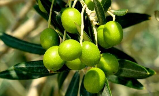 """甘肃陇南:油橄榄产业树""""中国品牌"""""""