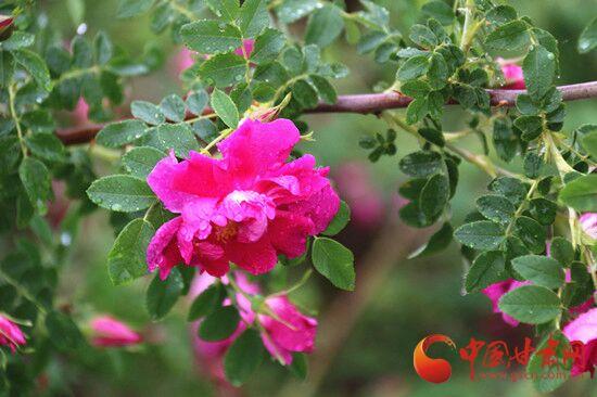第三届兰州新区中川玫瑰文化旅游节今日盛大开幕(图)