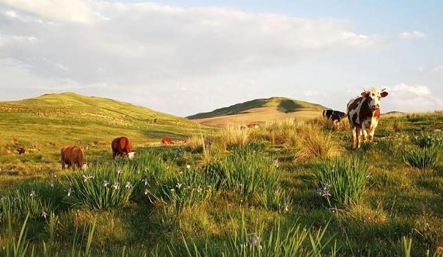焉支山下水草肥美牛羊欢