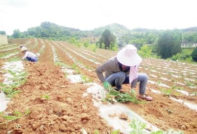 陇南徽县水阳镇两垭村群众正在管护西瓜幼苗(图)