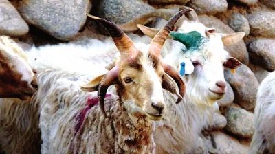 酒泉肃北:种公羊长了四只角