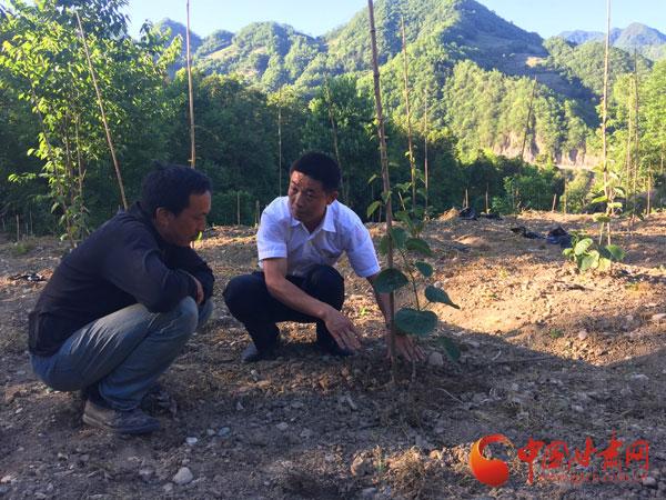陇南武都区裕河镇梨树村大力发展红心猕猴桃产业(图)