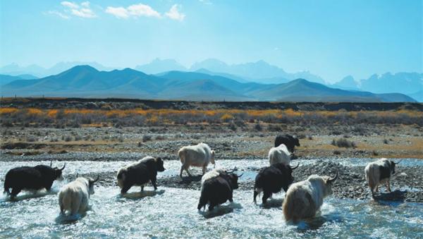 武威天祝白牦牛: 凉州南山雪峰青草孕化的美生灵(图)