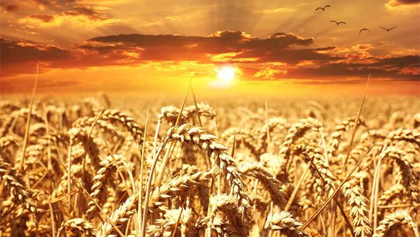 [甘肃新闻]甘肃省小麦机收作业全面展开