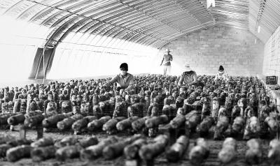 张掖市临泽县沙河镇大力发展食用菌产业(图)