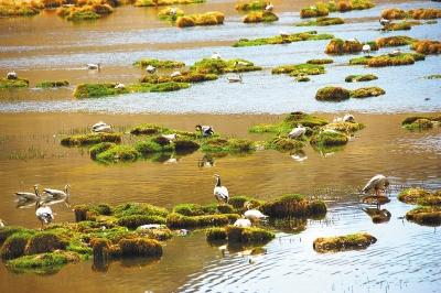 酒泉市肃北县盐池湾国家级自然保护区吸引许多候鸟栖息(图)