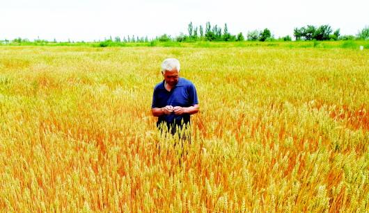 酒泉肃州区清水镇积极引进富硒黑小麦良种并进行规模化种植(图)