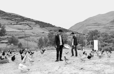 定西岷县中寨镇咀底村农户养殖的生态虫草鸡
