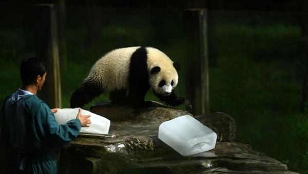 动物园为大熊猫送冰块消暑