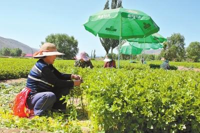 定西市安定区引导农民种植高原夏菜拓宽农民致富渠道