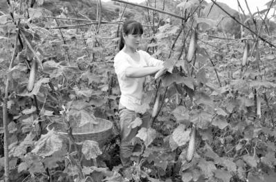 陇南市康县积极发展露天绿色无公害蔬菜产业(图)