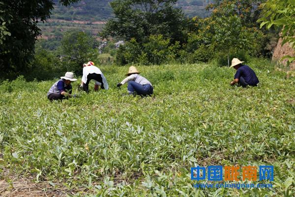 陇南西和县石峡镇杨湾村盈丰半夏合作社的半夏种植基地社员们正在给半夏除草