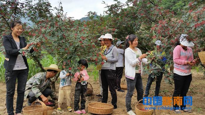 陇南武都区近百万亩花椒喜获丰收