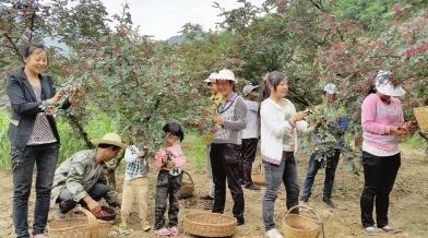 陇南市武都区近百万亩花椒喜获丰收(图)