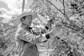陇南市武都区的百万亩花椒进入采摘期 烈日下的花椒采摘工