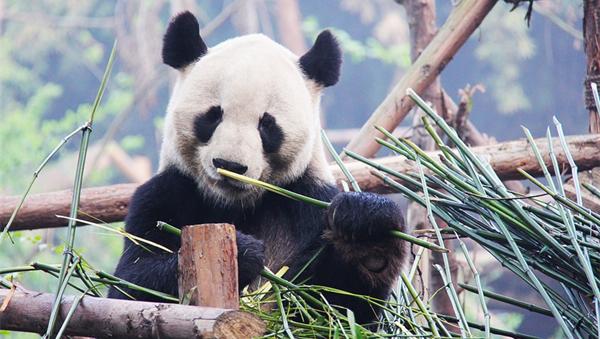 [朝闻天下]甘肃文县:白水江大熊猫区域种群密度上升