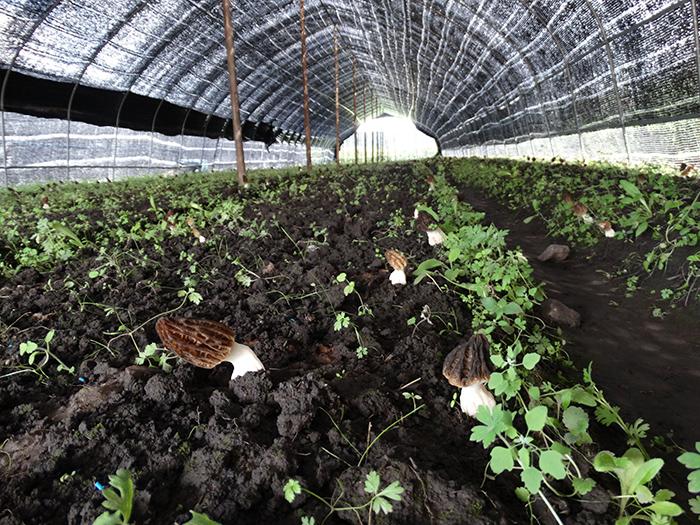 定西岷县人工种植反季节羊肚菌喜获成功