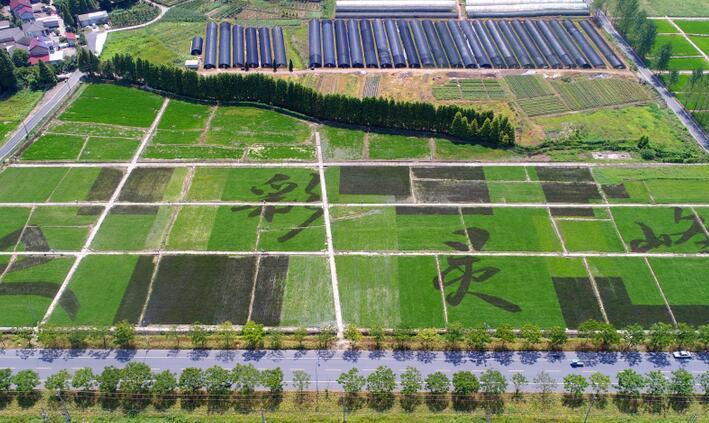 安吉:艺术稻田成风景