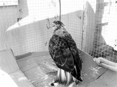 二级保护动物苍鹰受伤 张掖山丹马场民警救助保护(图)