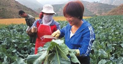 探寻高原夏菜的秘密  记者兰州田间地头体验菜农的一天(图)