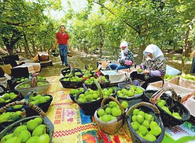 图说甘肃|张掖农场早酥梨果园基地一派丰收景象