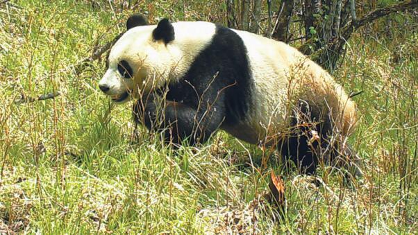 大熊猫国家公园正式获批 甘肃省白水江园区为重要组成部分