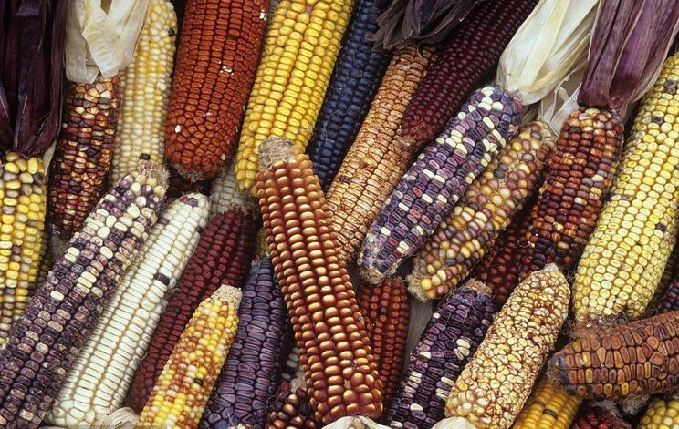 甘肃国审玉米品种达6个