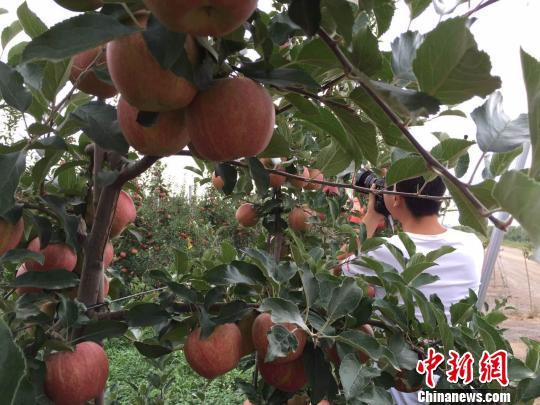"""甘肃宁县苹果产业革命 新型生产模式""""遍地开花"""""""