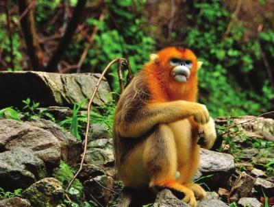 陇南康县首现野生金丝猴