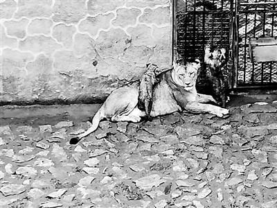 兰州动物园新添3只狮宝宝