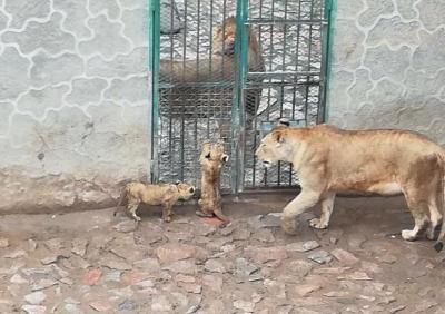兰州市动物园喜添新丁非洲狮产下三胞胎(图)
