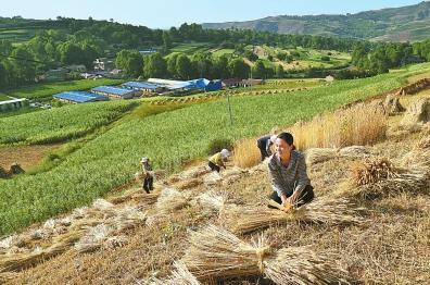 定西市渭源县麻家集镇路西村村民抢抓农时收割小麦(图)