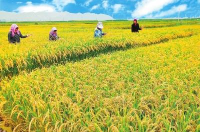 白银市靖远县东湾镇瓜园村农民在稻田里除草(图)
