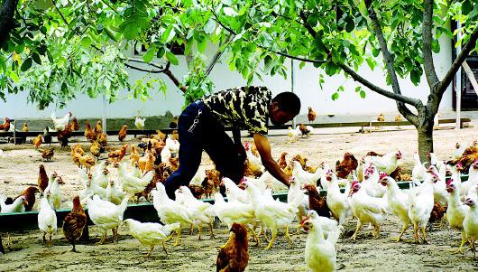 从岭藏鸡助脱贫 产业致富有奔头——甘南舟曲从岭藏鸡养殖产业助力脱贫攻坚侧记